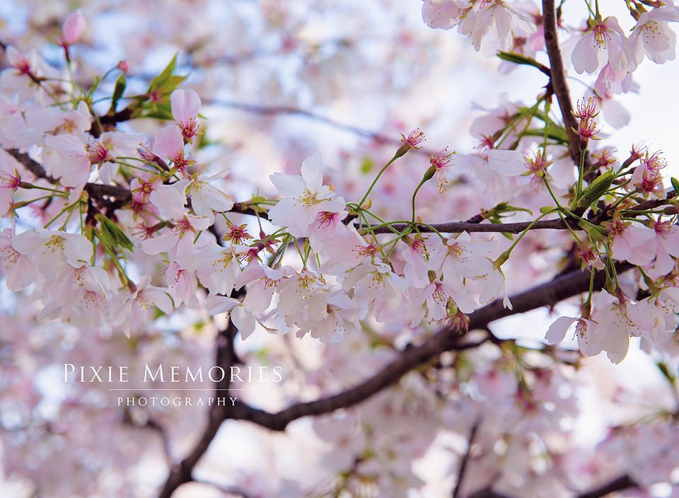 Cherry_Blossom_Photographer