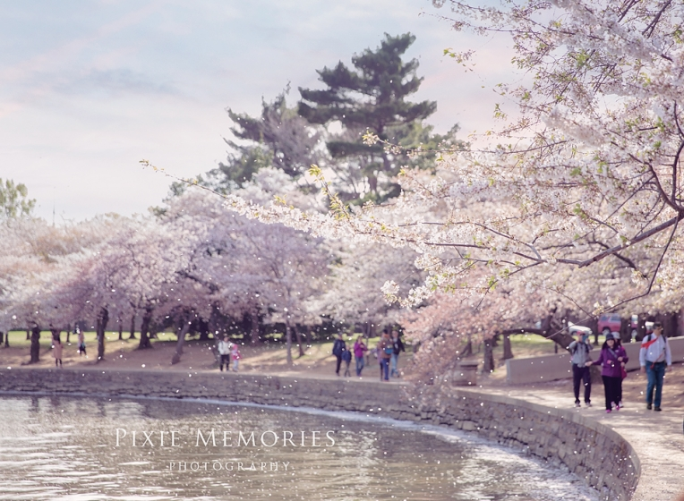 Cherry_Blossom_early_Morning_Photopgrapher